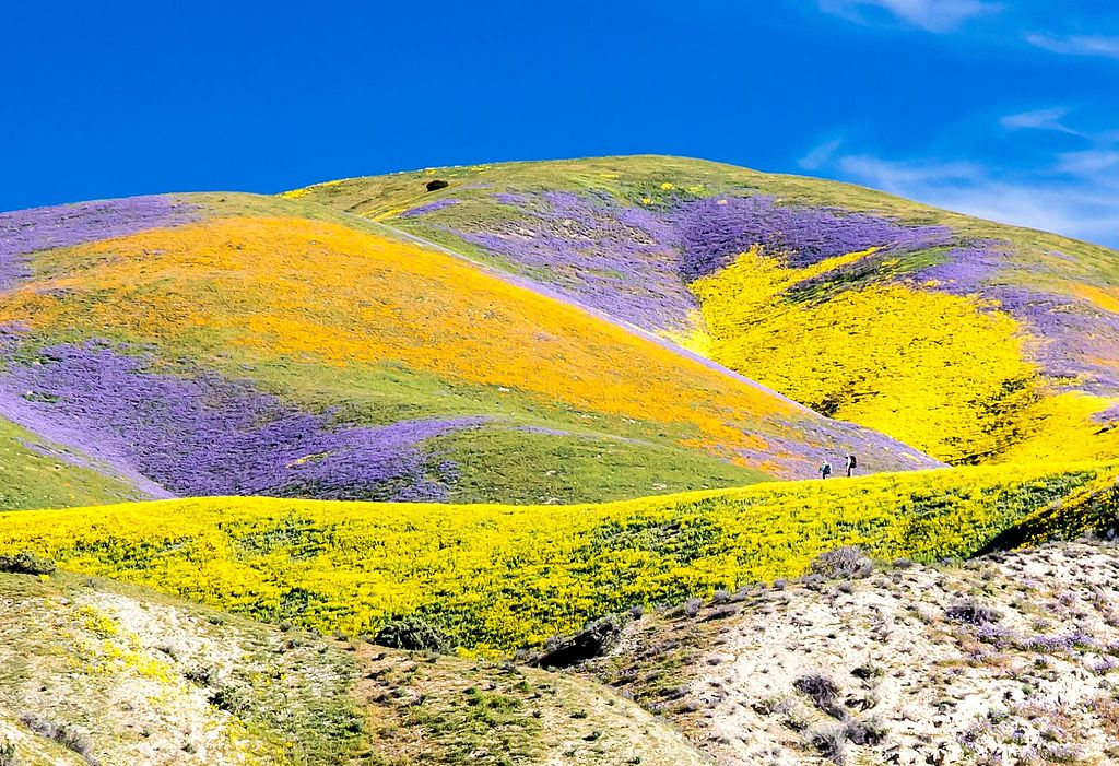 Superbloom_at_Carrizo_2017